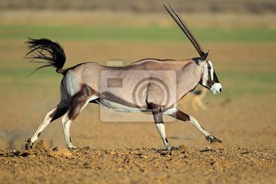 Running gemsbok antelope, Kalahari desert