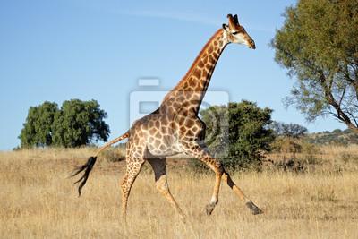 Canvas print Running giraffe