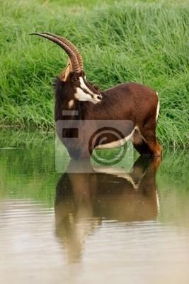 Sable antelope (Hippotragus niger)
