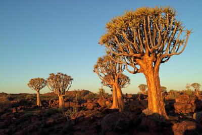 Scenic landscape with quiver trees (Aloe dichotoma) against a clear blue sky, Namibia.