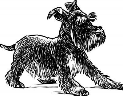 Canvas print schnauzer puppy