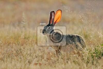 Canvas print scrub hare