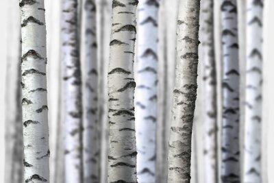 Canvas print seamless birch trees