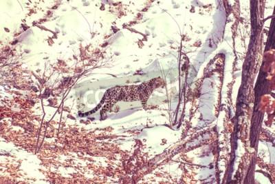 Canvas print seaside Leopard, aggressive animal walks on snowy ground, big beautiful striped Leopard. Winter