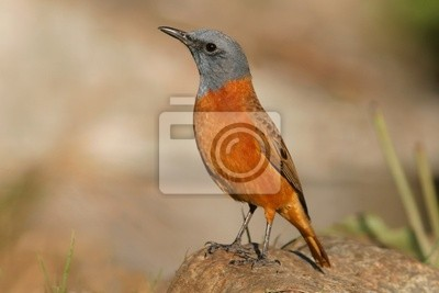 Canvas print sentinel rock thrush