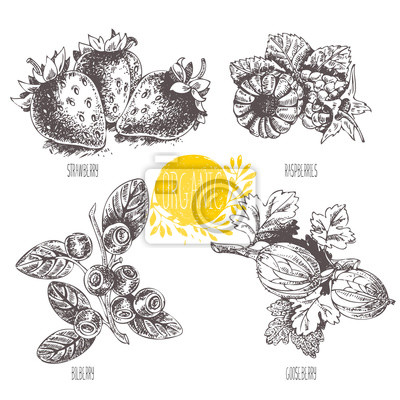 Series - vector fruit and spices. Hand-drawn illustration. Sketch. Healthy food. Linear graphic. Set of strawberry, raspberry, blueberry, bilberry, whortleberry, huckleberry, hurtleberry, gooseberry