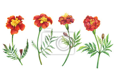 Set flowers Tagetes patula, the French marigold (Tagetes erecta, Mexican marigold). Red marigold. Garden flowering plant. Watercolor hand drawn painting illustration isolated on white background.
