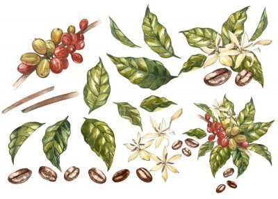 Canvas print Set of Red coffee arabica beans on branch with flowers isolated, watercolor illustration.