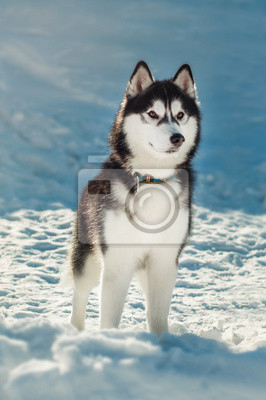 Canvas print Siberian husky with brown eyes in the snow