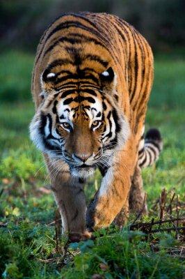 Canvas print Siberian Tiger