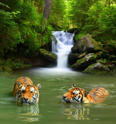 Canvas print Siberian Tigers in water