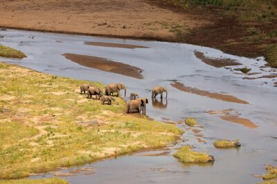 Small herd of African elephants crossing the olifants river, Kruger National Park, South Africa.