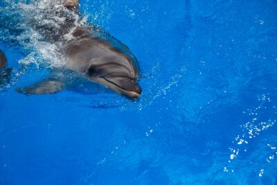Canvas print Smiling dolphin. dolphins swim in the pool