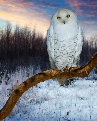 Canvas print Snowy Owl during sunset