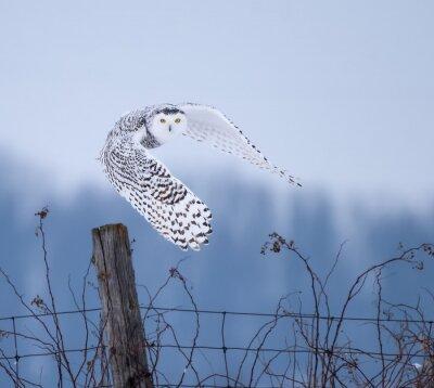 Canvas print Snowy Owl in Flight