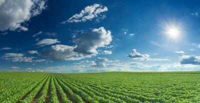 Canvas print Soybean fields rows in summer season
