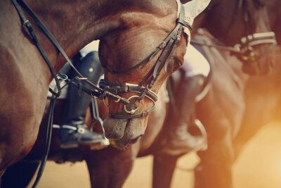 Canvas print Sports brown horses before competitions.