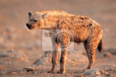 Spotted hyena, Etosha National Park