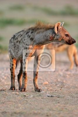 Spotted hyena, Kalahari desert, South Africa