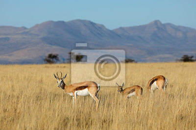 Canvas print Springbok antelopes (Antidorcas marsupialis) in natural habitat, Mountain Zebra National Park, South Africa.