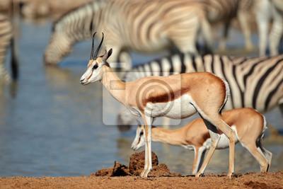 Springbok (Antidorcas marsupialis) and zebras at a waterhole, Etosha National Park, Namibia.