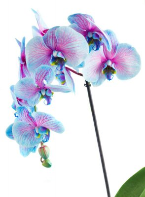 Canvas print stem of blue orchids