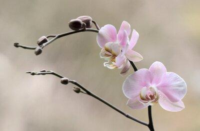 Canvas print Storczyk - Orchidea