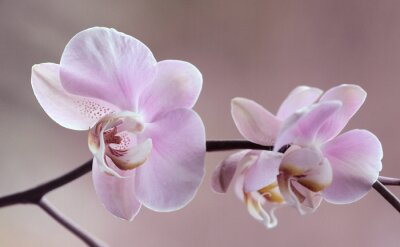 Canvas print Storczyki - Orchidea
