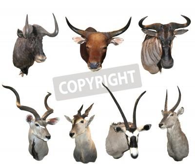 Stuffed antelope and buffalo heads, hunting trophies