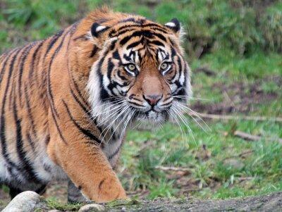 Canvas print Sumatran Tiger