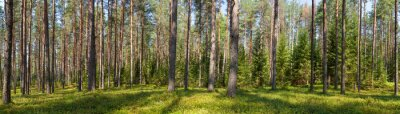 Canvas print Summer conifer forest panorama