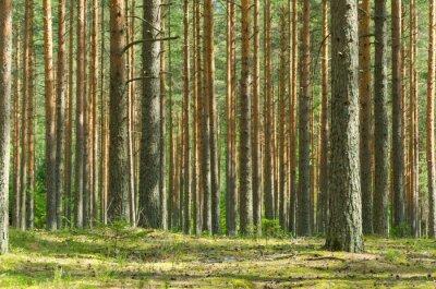 Canvas print Summer Pine Forest
