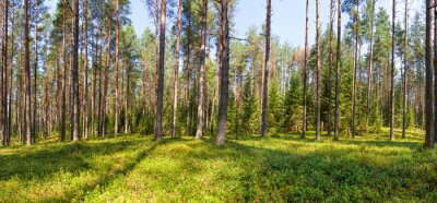 Canvas print Summer pine forest panorama