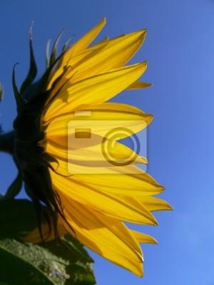 sunflower in profil