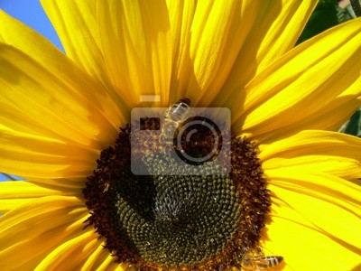 sunflower with worker bee