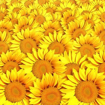 Canvas print Sunflowers