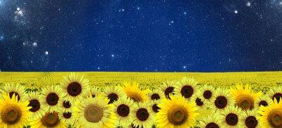 Canvas print Sunflowers field