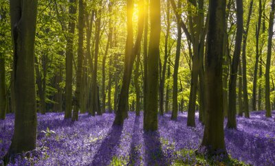 Canvas print Sunlight casts shadows across bluebells in a wood