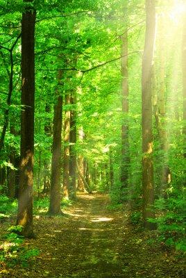 Canvas print sunlight forest