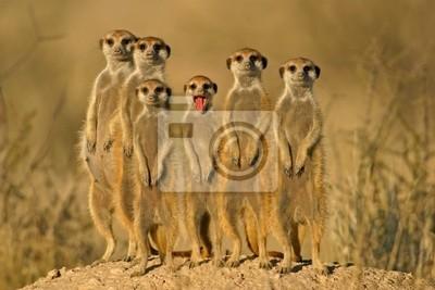 Canvas print suricate family