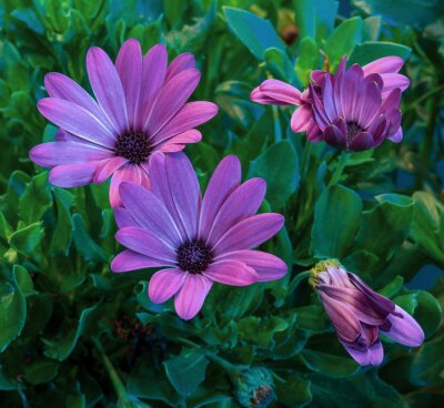 surrealistic violet african/cape daisy/marguerite blooms,green leaves,buds,on natural background in fine art still life vintage painting style