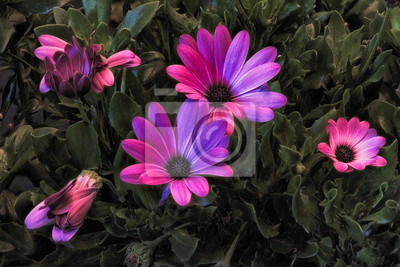 surrealistic violet pink african/cape daisy/marguerite blooms,green leaves,buds,on natural background in fine art still life vintage painting style