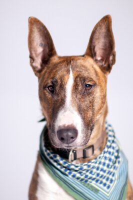 Canvas print süßer Hund mit Halstuch schaut am Betrachter vorbei