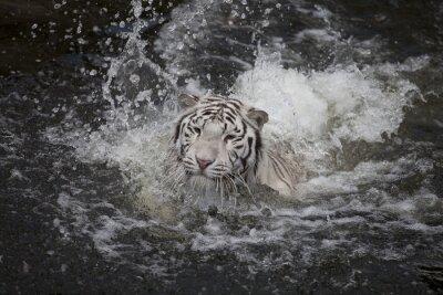 Canvas print Swimming white tiger