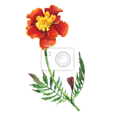 Tagetes patula, the French marigold (Tagetes erecta, Mexican marigold). Red marigold. Garden flowering plant. Watercolor hand drawn painting illustration isolated on white background.