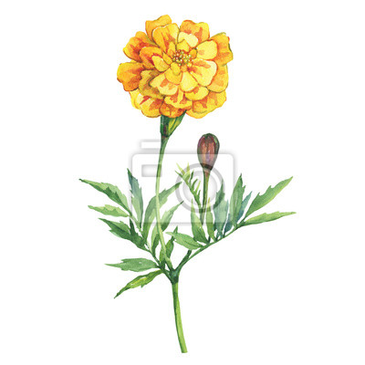 Tagetes patula, the French marigold (Tagetes erecta, Mexican marigold). Yellow marigold. Garden flowering plant. Watercolor hand drawn painting illustration isolated on white background.