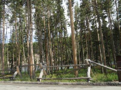 Tall green trees along a winding road at Yellowstone National Park, Wyoming.