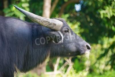 Thai buffalo head