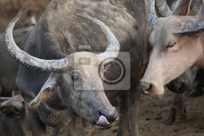 thai buffalo portrait , Close up portrait of buffalo head and eye