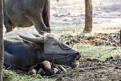 Thai water buffalo head shot
